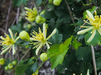 Virgin's Bower  (Clematis ligusticifolia) RANUNCULACEAE