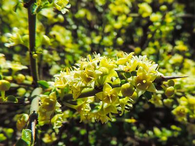 California Adolphia (Adolphia californica) RHAMNACEAE