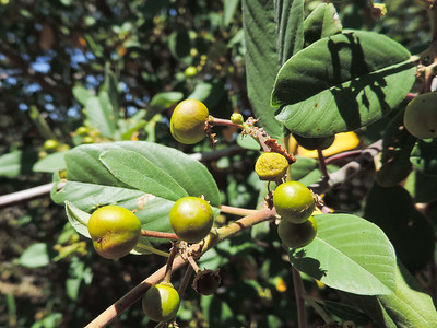 California Coffeeberry (Frangula californica) RHAMNACEAE