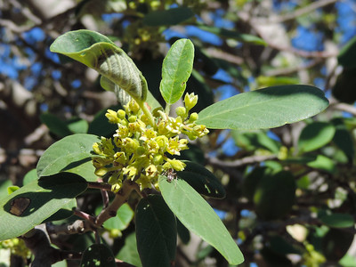 California Coffeeberry (Frangula californica)