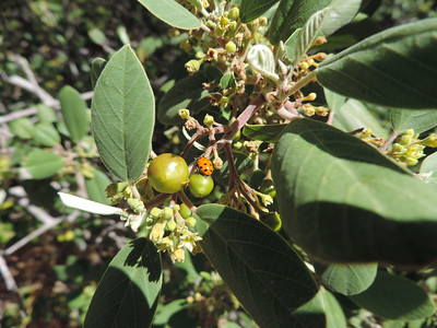California Coffeeberry (Frangula californica)