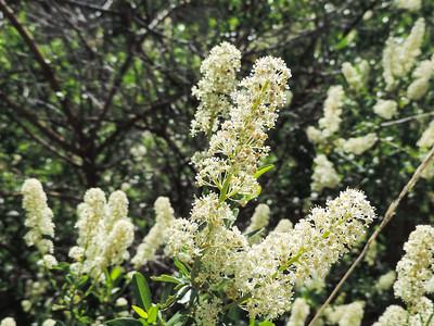 Palmer Ceanothus (Ceanothus palmeri) RHAMNACEAE