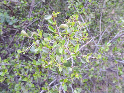 Spiny Redberry (Rhamnus crocea)