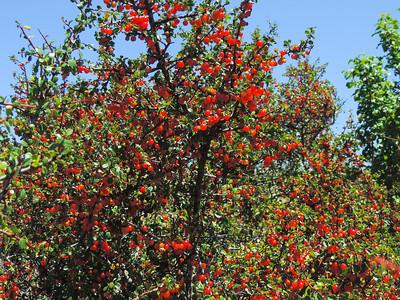 Spiny Redberry  (Rhamnus crocea) RHAMNACEAE
