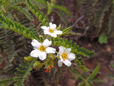 Mountain Misery (Chamaebatia australis)