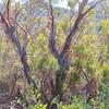Ribbon Wood (Adenostoma sparsifolium)