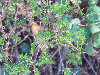 Climbing Bedstraw  (Galium porrigens) RUBIACEAE