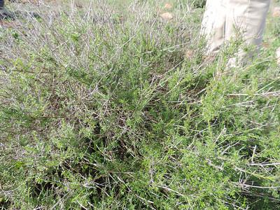 San Diego Bedstraw (Galium nuttallii) RUBIACEAE