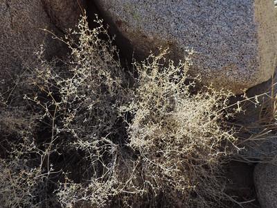 Starry Bedstraw (Galium stellatum) RUBIACEAE