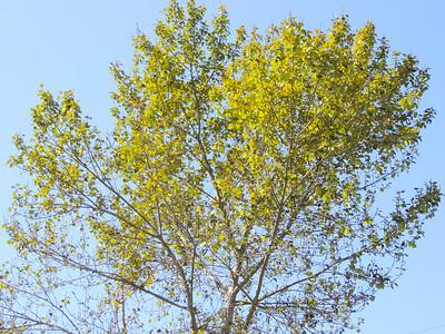 Fremont Cottonwood (Populus fremontii)
