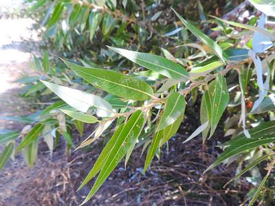 Red Willow (Salix laevigata) SALICACEAE