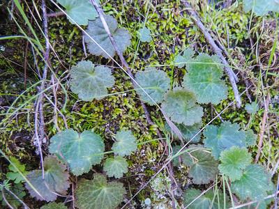 Coast Jepsonia  (Jepsonia parryi) SAXIFRAGACEAE