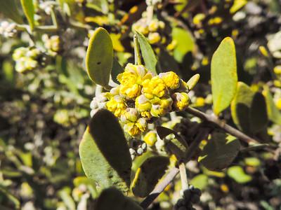 Jojoba  (Simmondsia chinensis) SIMMONDSIACEAE