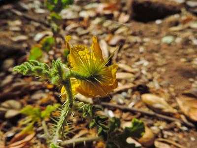 Buffalobur (Solanum rostratum) SOLANACEAE