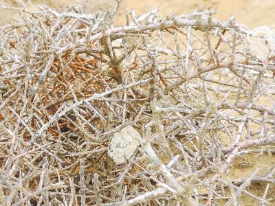 California Boxthorn (Lycium californicum) SOLANACEAE