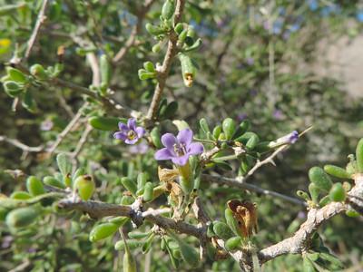 Fremont's Desert Thorn (Lycium fremontii) SOLANACEAE