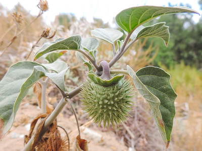 Jimson Weed  (Datura wrightii) SOLANACEAE