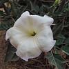 Jimson Weed (Datura wrightii)