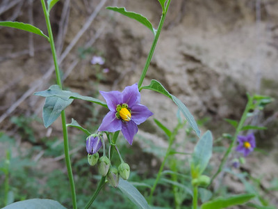 Parish's Nightshade (Solanum parishii)