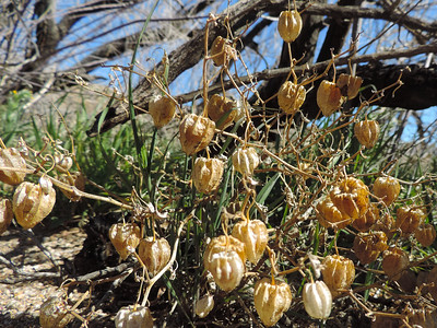 Thick leaved Ground Cherry (Physalis crassifolia)