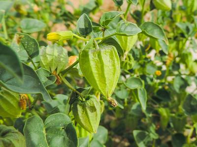 Thick leaved Ground Cherry  (Physalis crassifolia) SOLANACEAE