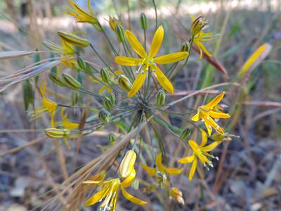 Goldenstars (Bloomeria crocea)