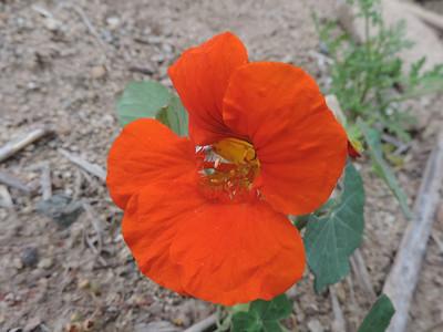 Nasturtium (Tropaeolum majus) TROPAEOLACEAE