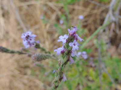 Western Vervain (Verbena lasiostachys)