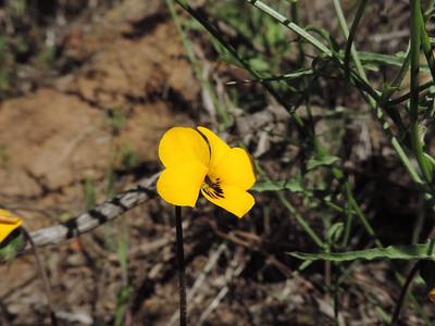 California Golden Violet (Viola pedunculata) VIOLACEAE