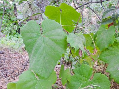 Wild Grape  (Vitis girdiana) VITACEAE