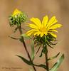 Oregon gumweed, Grindelia stricta
