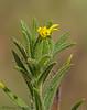 Clustered tarweed, Madia glomerata