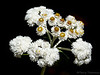 Pearly everlasting, Anaphalis margaritacea - Wolf Lake area, Vancouver Island, B.C.