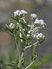 Pearly everlasting, Anaphalis margaritacea