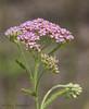 Yarrow (pink variety) - Achillea millefolium