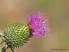 Canada thistle, Cirsium arvense