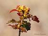 Tall Oregon-grape, Mahonia aquifolium