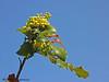 Tall Oregon-Grape - Mahonia aquifolium