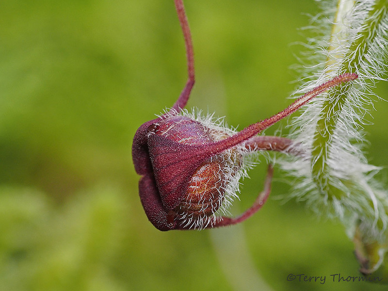 Wild ginger, Asarum caudatum