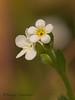 Scouler's popcornflower, Plagiobothrys scouleri