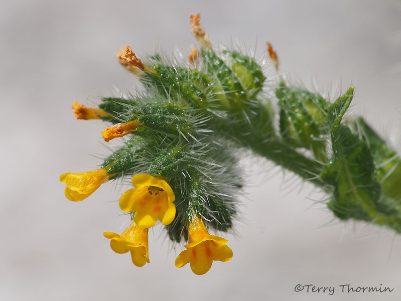 Seaside fiddleneck, Amsinckia spectabilis
