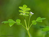 Small-flowered nemophila - Nemophila parviflora var. parviflora