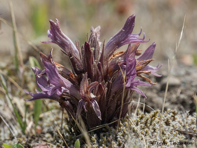 California broomrape - Orobanche californica