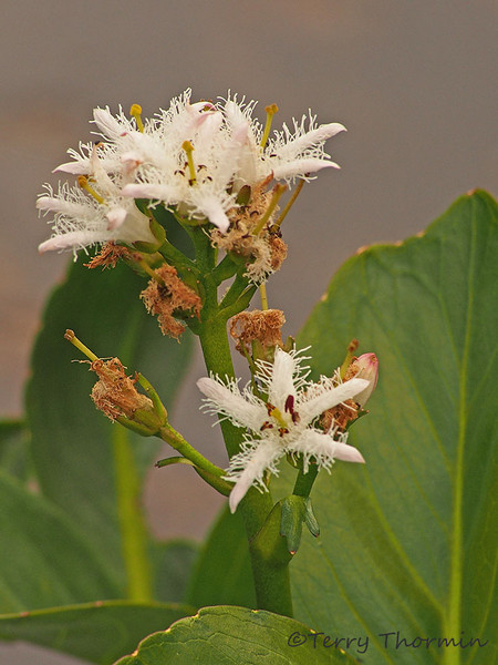 Buckbean, Menyanthes trifoliata