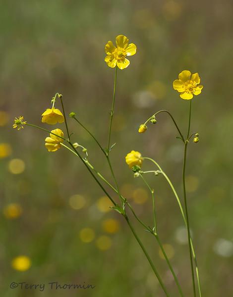 Meadow buttercup, Ranunculus acris