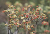 Unknown Lomatium sp., Okanagan near Oliver