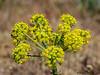 Indian consumption plant, Lomatium nudicaule - Kin Beach, Comox