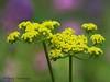 Spring gold, Lomatium utriculatum