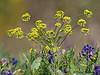 Barestem desert-parsley - Lomatium nudicaule