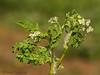 Bur chervil, Anthriscus caucalis